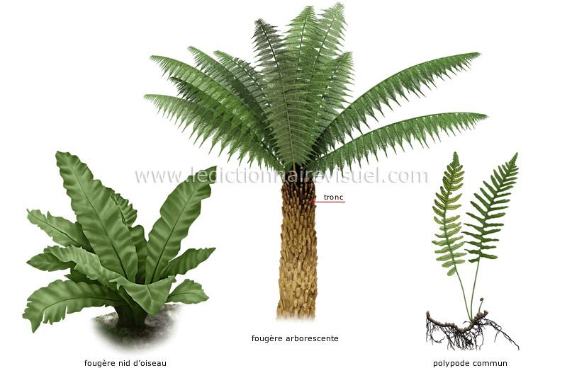 R gne v g tal foug re exemples de foug res image for Vegetal en anglais
