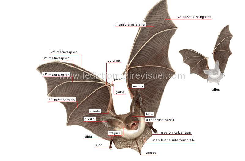 R gne animal mammif re volant chauve souris morphologie de la chauve souris image - Image de chauve souris ...