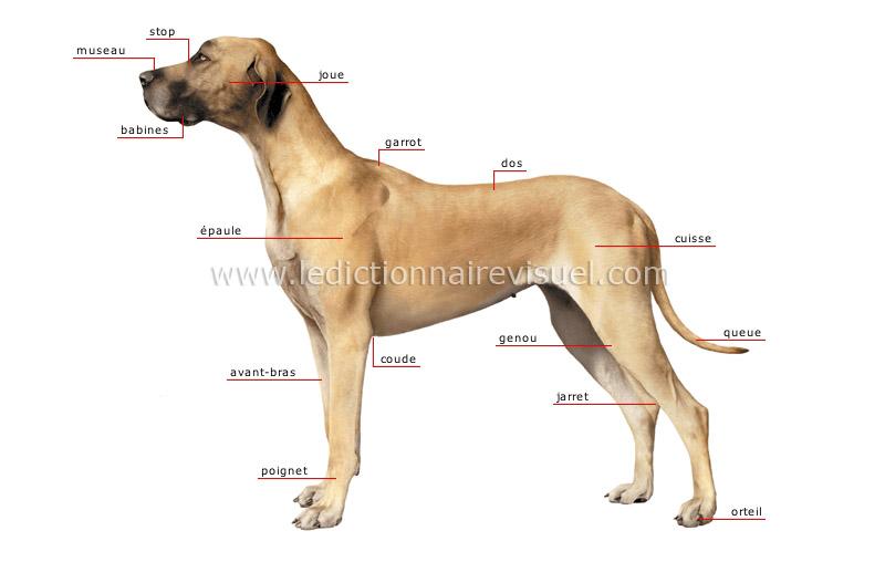 r gne animal mammif res carnivores chien morphologie du chien image dictionnaire visuel. Black Bedroom Furniture Sets. Home Design Ideas